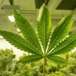 Top 7 Marijuana Stocks to Invest in August